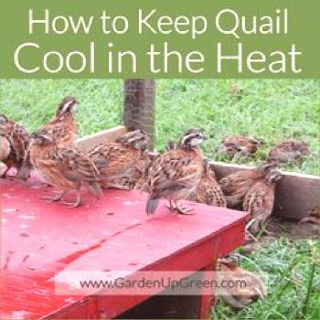How to Keep Quail Cool in the Heat. ...