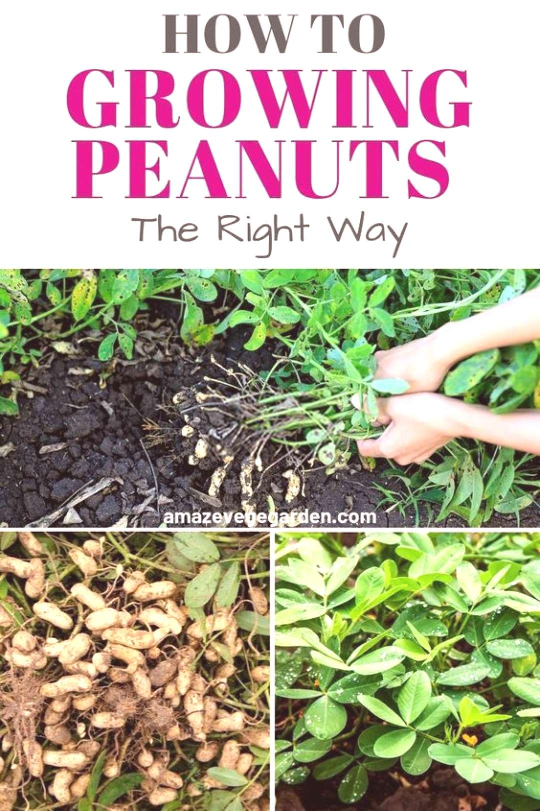 55 Step by step tips for how  Step by step tips for how to growing your own peanuts in your garden!